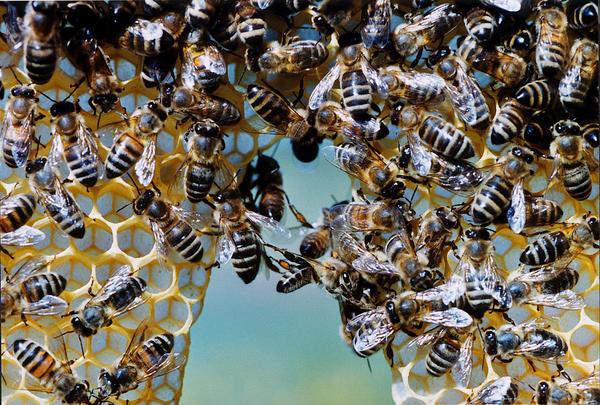 Bienen beim Wabenbau ©Mellifera e. V.